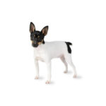 Petland Novi Toy Fox Terrier