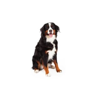 Bernese Mountain Dog Puppies Petland Novi