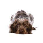 Petland Novi German Wirehaired Pointer
