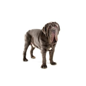 neapolitan-mastiff Puppies