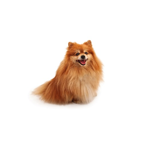 pomeranian puppy michigan pomeranian puppies for sale michigan petland novi 1347