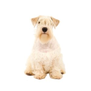sealyham-terrier1