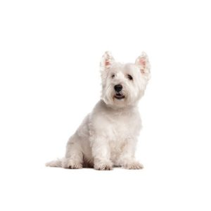 west-highland-terrier-1