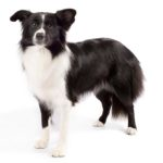 Petland Novi Border Collie