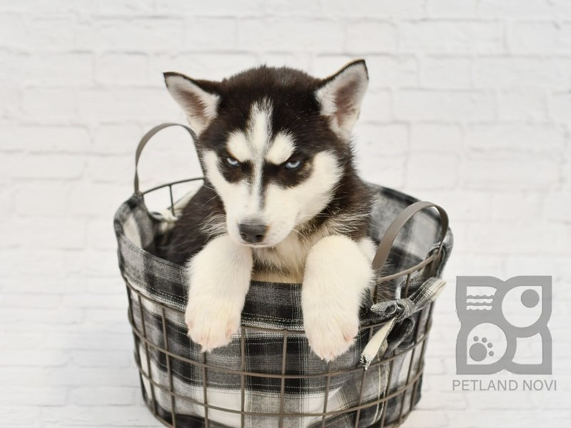 Siberian Husky-Female-Black & White-2582250-Petland Novi