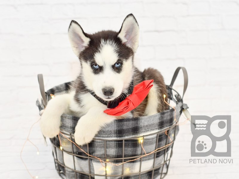 Siberian Husky-Female-Black White-2561110-Petland Novi