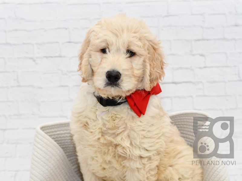 Goldendoodle-Male-Golden-2561153-Petland Novi