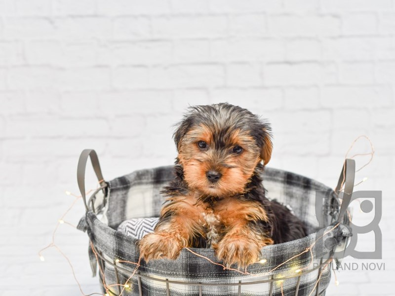 Yorkshire Terrier-Male-Black Tan-2566556-Petland Novi