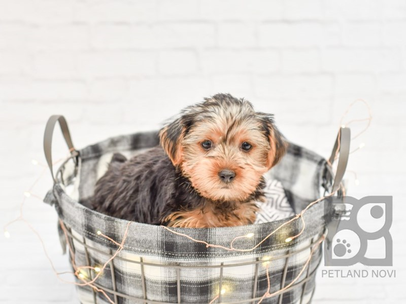 Yorkshire Terrier-Male-Black Tan-2566557-Petland Novi