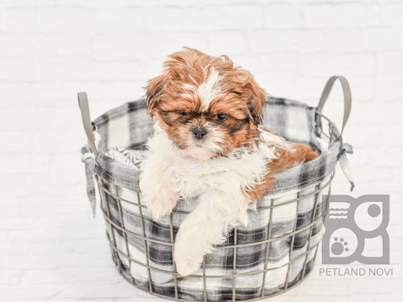 Shih Tzu-Male-BROWN WHITE-2571176-Petland Novi