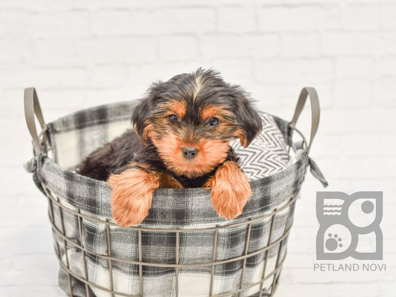Yorkshire Terrier-Male-Black & Tan-2572948-Petland Novi