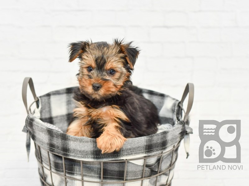 Yorkshire Terrier-Male-BLK TAN-2576755-Petland Novi