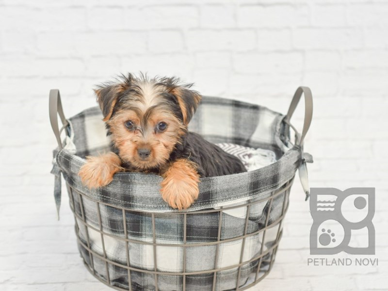 Silky Terrier-Male-Black / Tan-2581845-Petland Novi