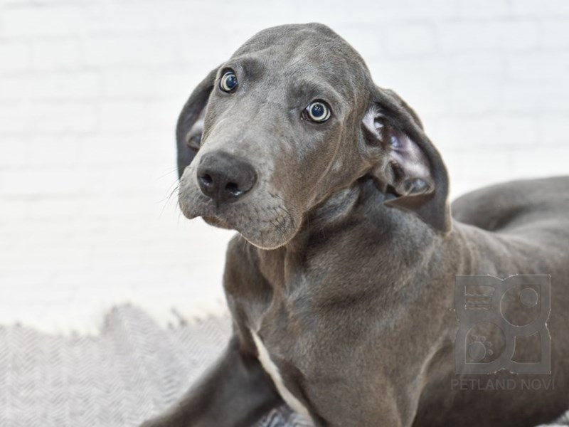 Great Dane-Male-Gray-2588336-Petland Novi