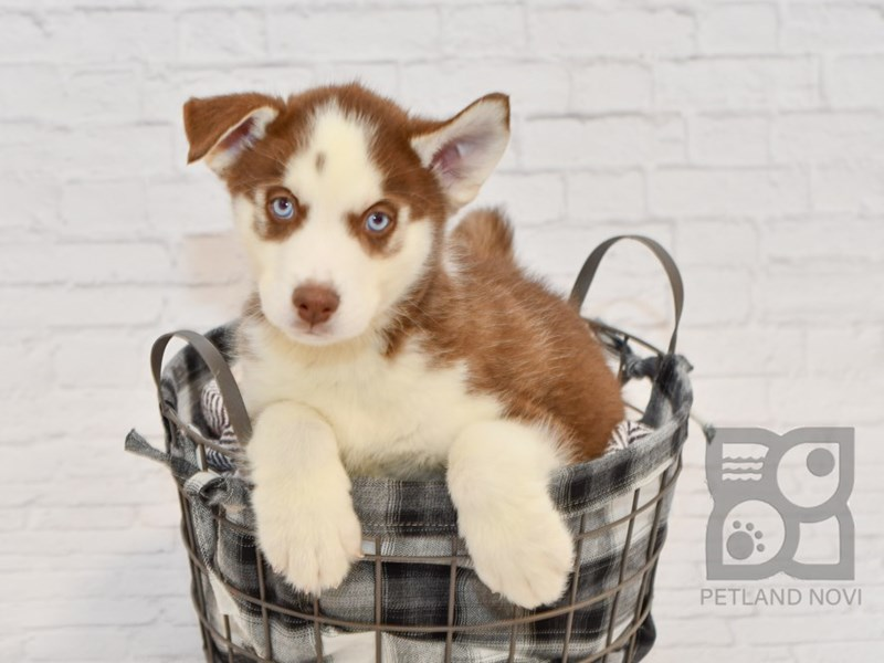 Siberian Husky-Male-Red & White-2589699-Petland Novi