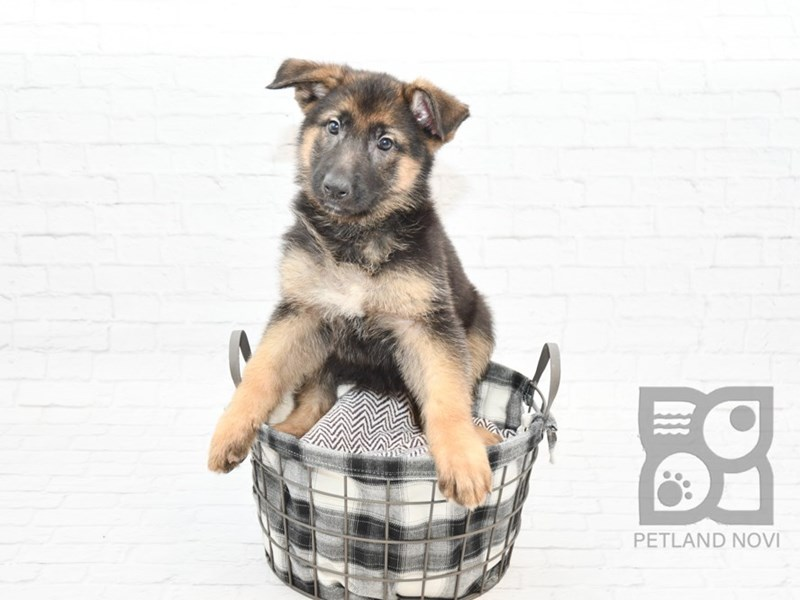 German Shepherd-Female-Black & Tan-2604879-Petland Novi