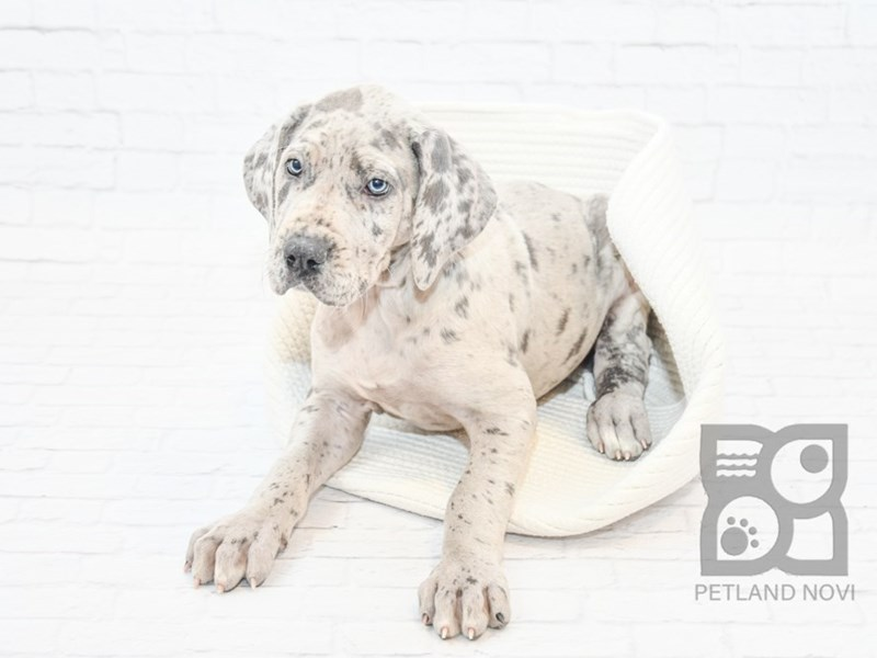 Great Dane-Female-Dapple-2610747-Petland Novi