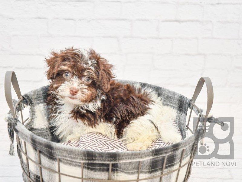Havanese-Female-Chocolate & White-2612287-Petland Novi