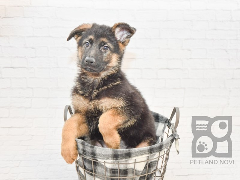 German Shepherd-Male-Black & Tan-2625411-Petland Novi