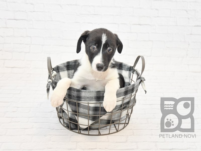 Border Collie-Female-Black White-2624770-Petland Novi