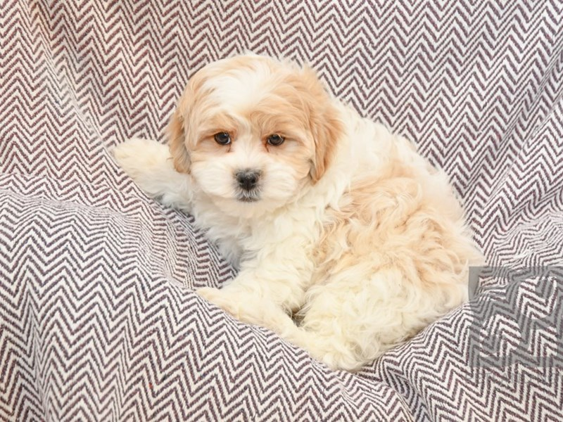 Shih Poo-Male-Buff / White-2632213-Petland Novi