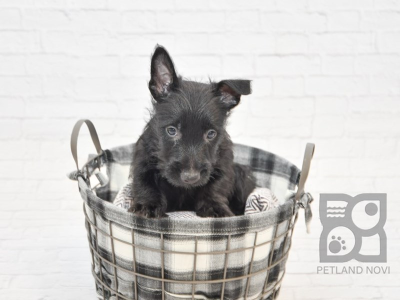 Scottish Terrier-Male-BLACK-2603530-Petland Novi