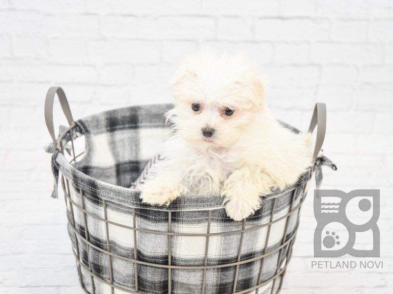 Maltese-Male-WHITE-2611066-Petland Novi