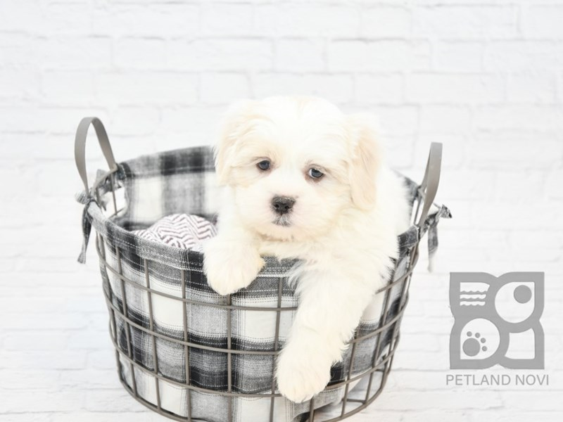 Lhasa Apso-Male-Brown White-2610590-Petland Novi