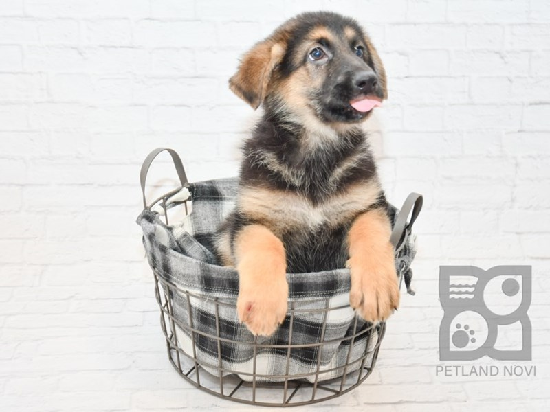 German Shepherd-Female-Black & Tan-2625415-Petland Novi