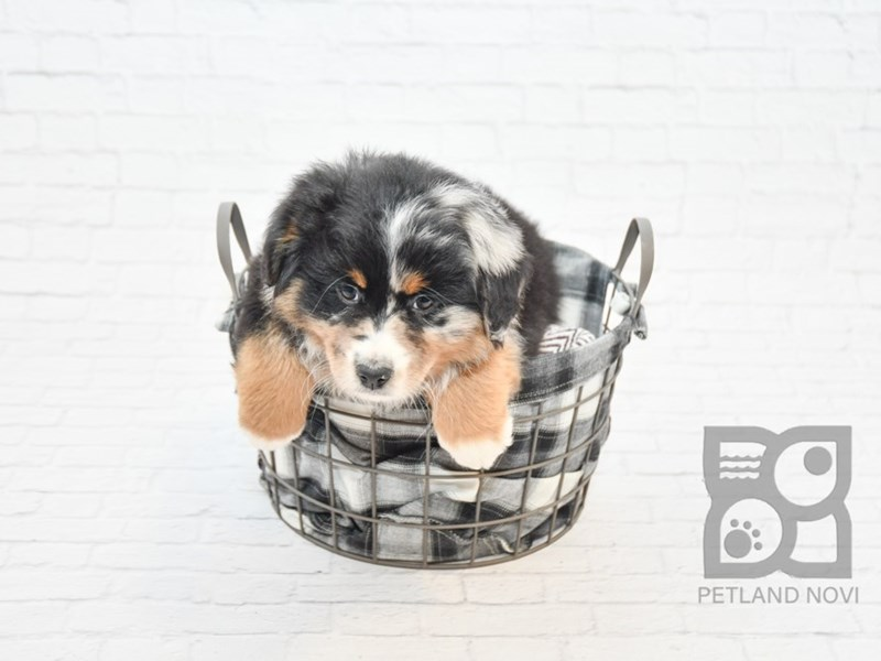Australian Shepherd-Male-Blk, Tan & White w/Merle Markings-2625447-Petland Novi