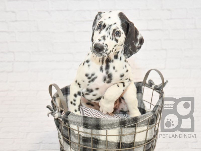 Dalmatian-Female-Black & White-2633102-Petland Novi