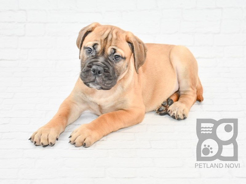 Bullmastiff-Female-Red Fawn-2633116-Petland Novi