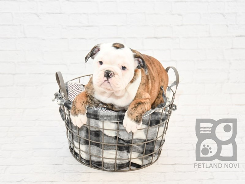 Wrinkly English Bulldog Pup Cute Little Puppies Cute Baby