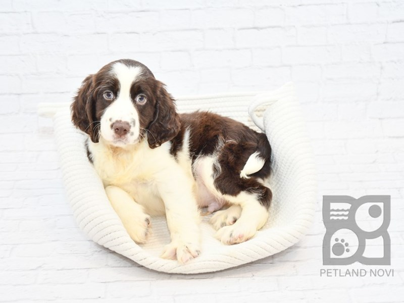 English Springer Spaniel-Male-Liver & White-2640220-Petland Novi