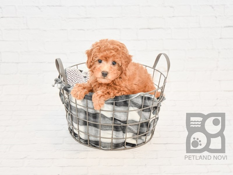 Bichon Poo-DOG-Female-RED-2639584-Petland Novi