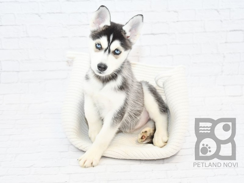 Siberian Husky-Female-Black White-2639567-Petland Novi