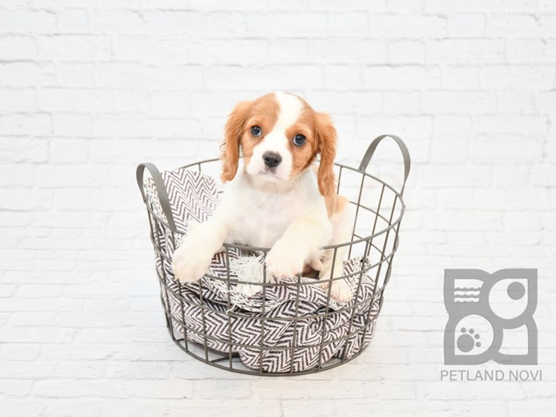 Cavalier King Charles Spaniel-DOG-Male-Blenheim / White-2647750-Petland Novi