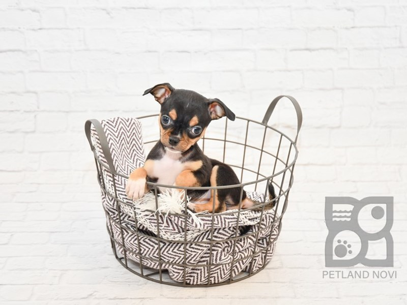Chihuahua-DOG-Male-BLK TAN-2647503-Petland Novi