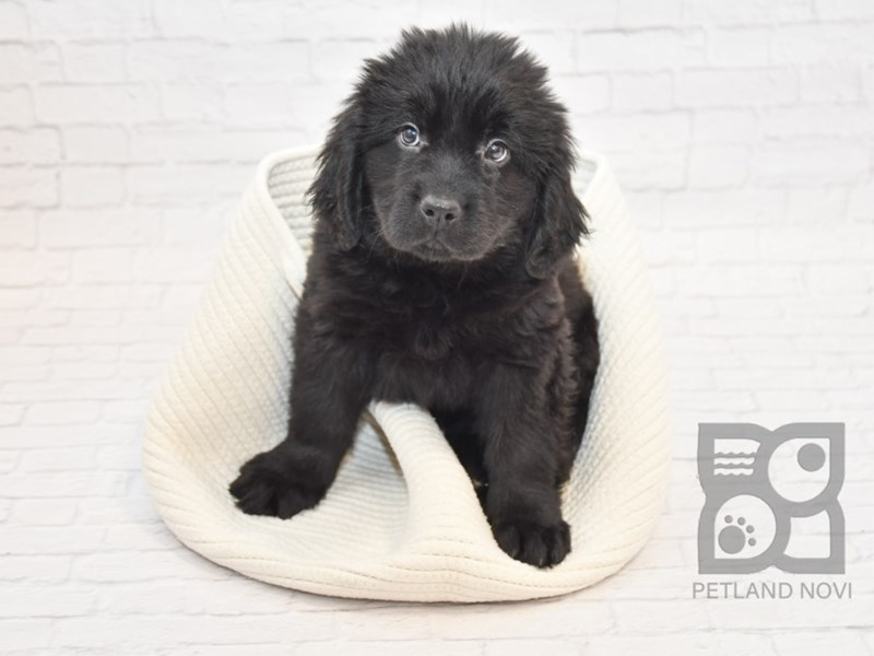 Newfoundland-Female-Black-2647484-Petland Novi