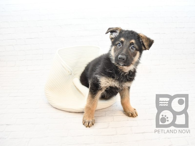 German Shepherd-Male-Black & Tan-2647344-Petland Novi