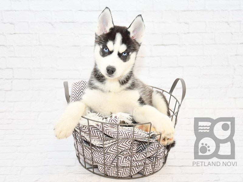 Siberian Husky-Female-Black & White-2647539-Petland Novi