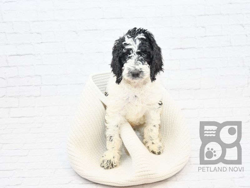 Goldendoodle-Male-Black & White-2647397-Petland Novi