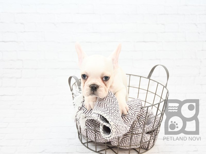 French Bulldog-Male-Cream & White-2650092-Petland Novi