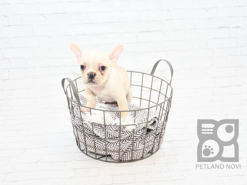 French Bulldog-Female-Cream & White-2650098-Petland Novi