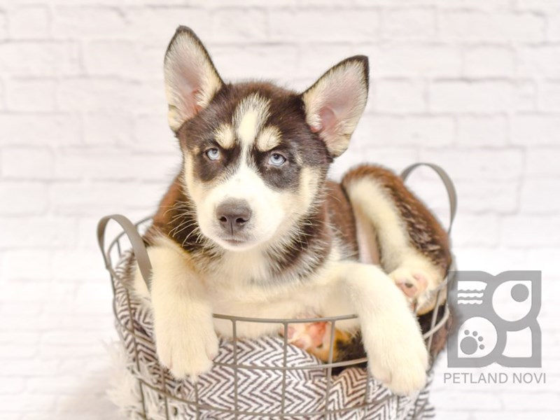 Siberian Husky-Female-Black and White-2727038-Petland Novi