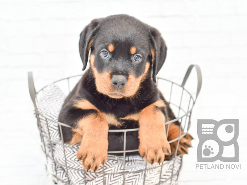 Rottweiler-Male-Black and Tan-2727029-Petland Novi