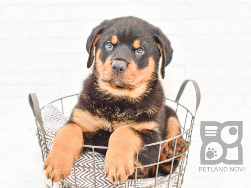 Rottweiler-Male-Black Tan-2727507-Petland Novi