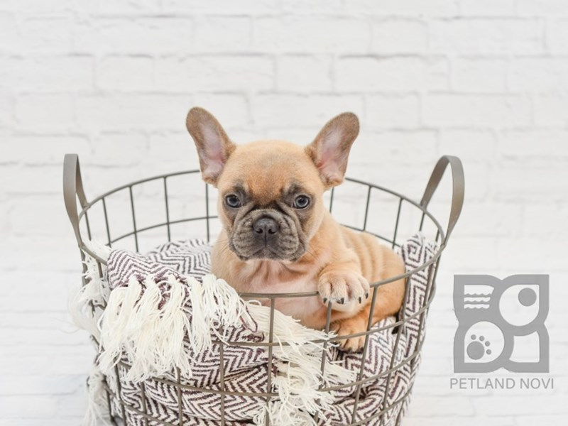 French Bulldog-Male-TAN-2727100-Petland Novi