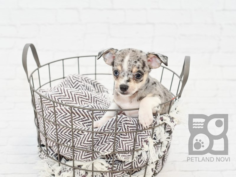 Chihuahua-DOG-Male-BLUE  MERLE-2734395-Petland Novi