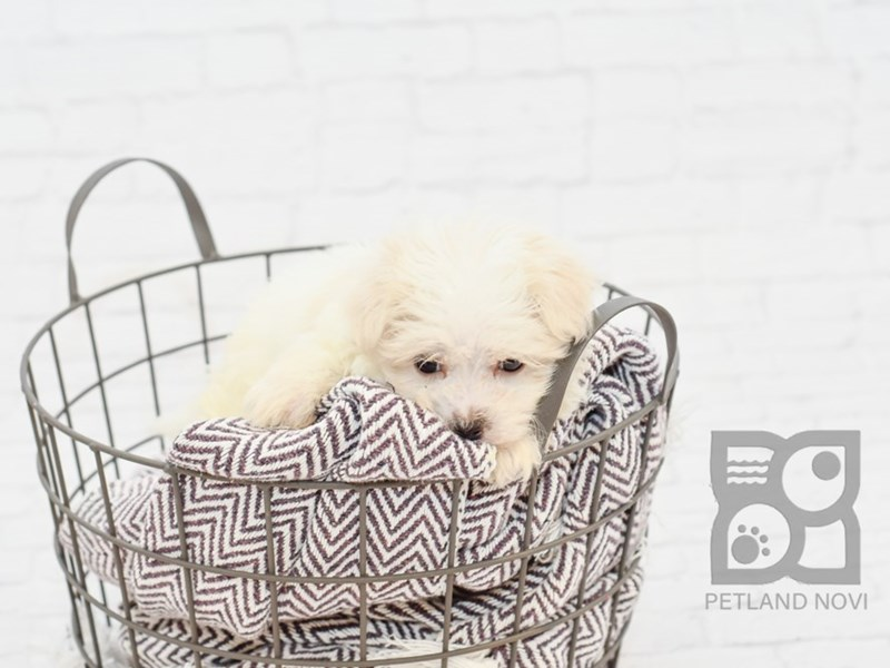 Maltese-Male-WHITE-2734441-Petland Novi